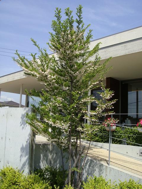 エゴノキ(落葉高木) 樹の全体写真