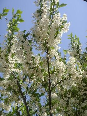 エゴノキ(落葉高木) 花の写真
