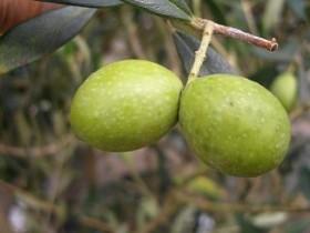 オリーブ(常緑高木) 実の写真