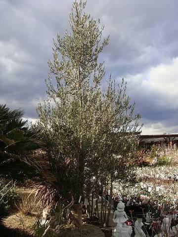 オリーブ(常緑高木) 樹の全体写真