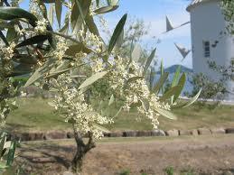 オリーブ(常緑高木) 花の写真