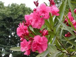 キョウチクトウ 花の写真