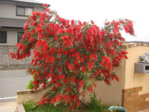 キンポウジュ(常緑低木) 樹の全体写真