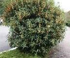 キンモクセイ 樹の全体写真