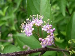 コムラサキ 花の写真