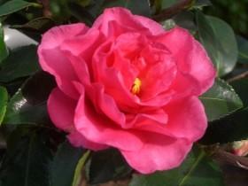 サザンカ 花の写真
