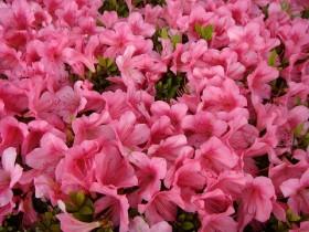 サツキ 花の写真