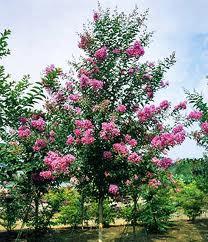 サルスベリ(落葉高木) 樹の全体写真
