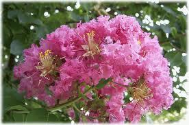 サルスベリ 花の写真