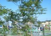 シマトネリコ(落葉高木) 樹の全体写真