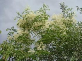 シマトネリコ(落葉高木) 花の写真