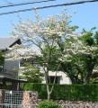 ハナミズキ(落葉高木) 樹の全体写真