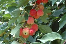 ヒメリンゴ(落葉高木) 実の写真