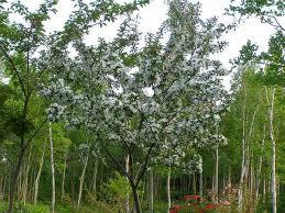 ヒメリンゴ(落葉高木) 樹の全体写真