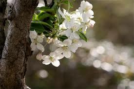 ヒメリンゴ(落葉高木) 花の写真