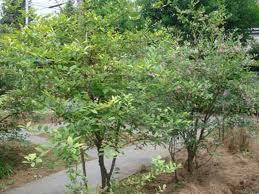 ブルーベリー 樹の全体写真