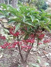 マンリョウ 樹の全体写真