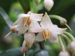 マンリョウ 花の写真