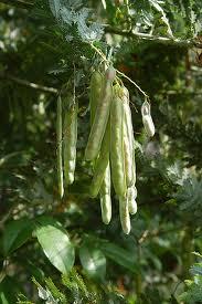 ミモザ(常緑高木) 実の写真