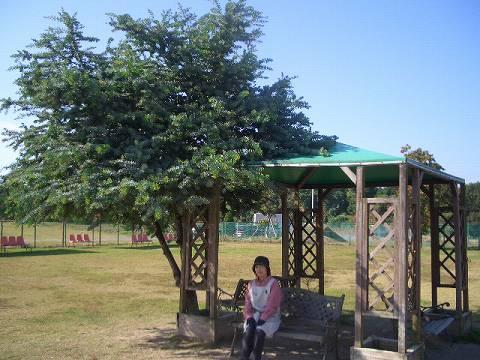 ミモザ(常緑高木) 樹の全体写真