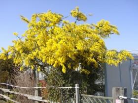ミモザ(常緑高木) 花の写真