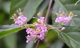 ムラサキシキブ 花の写真