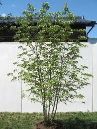 ヤマボウシ(常緑高木) 樹の全体写真