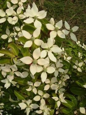 ヤマボウシ(常緑高木) 花の写真